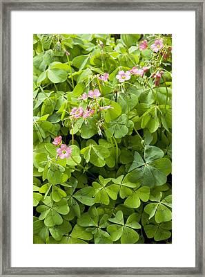 Mexican Wood-sorrel (oxalis Tetraphylla) Framed Print