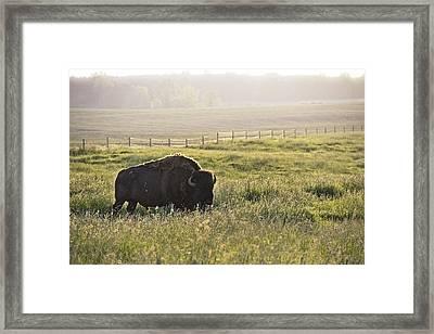 Michigan Buffalo Framed Print by Joe Gee