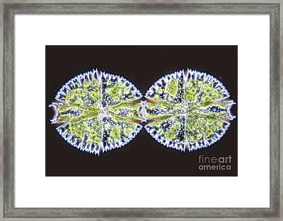 Micrasterias Apiculata Framed Print by MI Walker