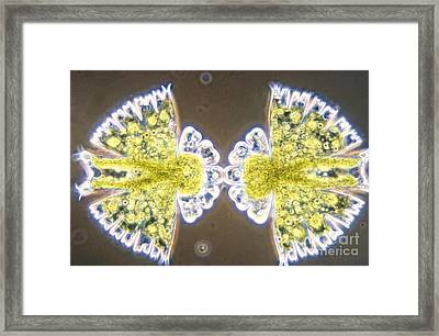 Micrasterias Framed Print by M. I. Walker