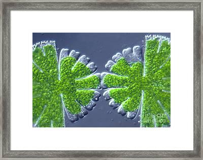 Micrasterias Rotata Framed Print by M. I. Walker