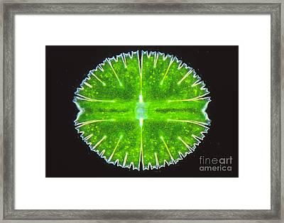 Micrasterias Truncata Framed Print