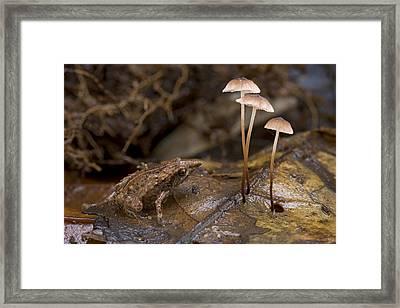 Microhylid Frog Papua New Guinea Framed Print by Piotr Naskrecki