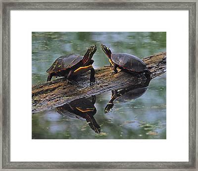 Midland Painted Turtles Framed Print
