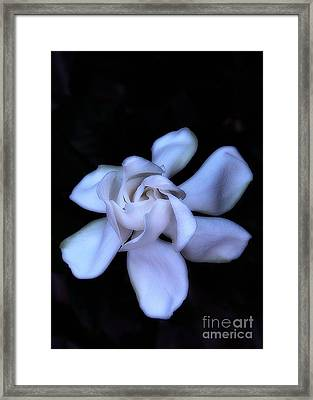 Midnight Gardenia Framed Print by Judi Bagwell