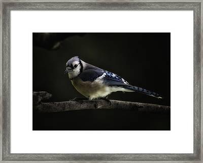 Midnight Light Blue Jay Framed Print by Bill Tiepelman