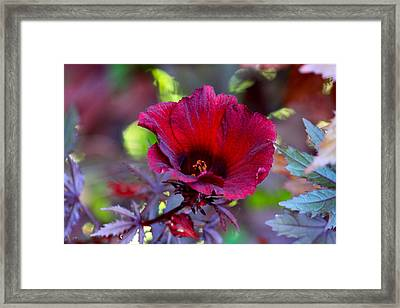 Midnight Romance Acetosella Red Hibiscus Framed Print by Karon Melillo DeVega