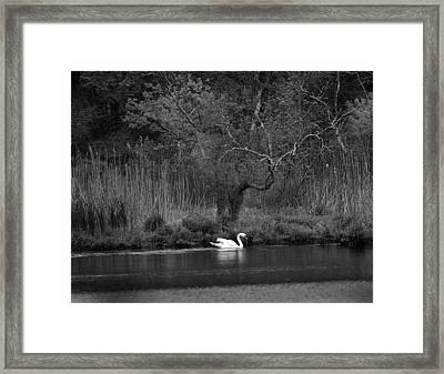 Midnight Swan Framed Print