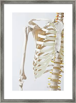 Midsection Of An Anatomical Skeleton Model Framed Print by Rachel de Joode