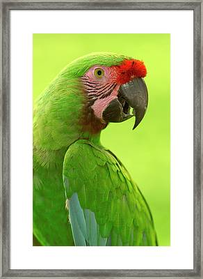 Military Macaw Ara Militaris Portrait Framed Print by Pete Oxford