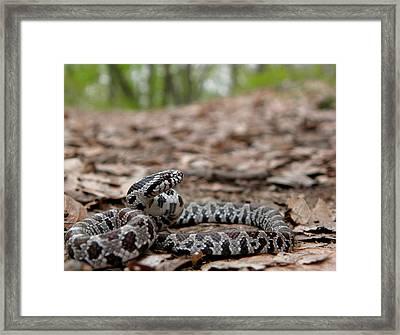 Milk Snake Framed Print