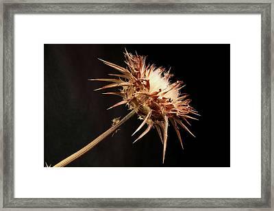 Milk Thistle Flowerhead Framed Print by Ben Shaked