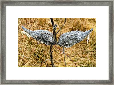 Milk Weed Pods Framed Print by Mindy Newman