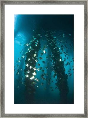 Milkfish, Dumaguete Pier, Philippines Framed Print by Stuart Westmorland