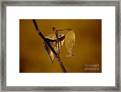Milkweed Framed Print by David  Hubbs