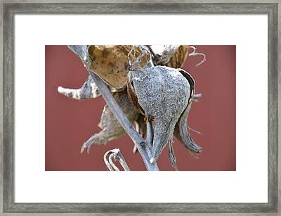 Milkweed Framed Print by Randy J Heath