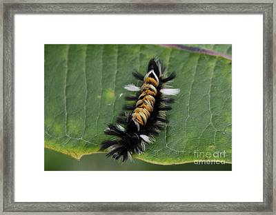 Milkweed Tussock Caterpillar Framed Print by Randy Bodkins