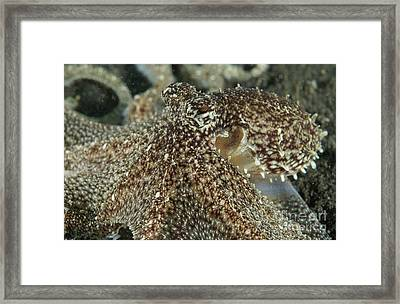 Mimic Octopus Head, North Sulawesi Framed Print by Mathieu Meur