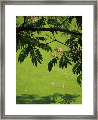 Mimosa Over Swamp Framed Print by Peg Toliver