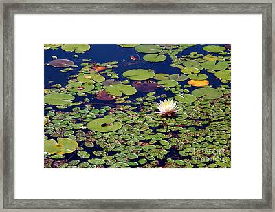 Mini Lily Pads Framed Print by Pauline Ross