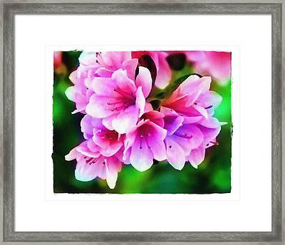 Miniature Azaleas Framed Print by Judi Bagwell