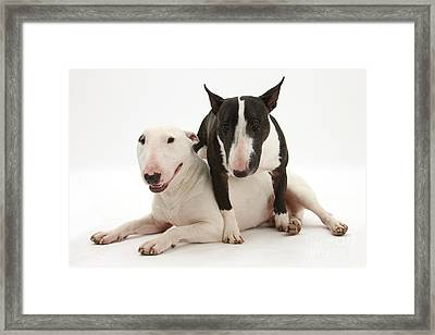Miniature Bull Terrier Bitch, Lily Framed Print by Mark Taylor