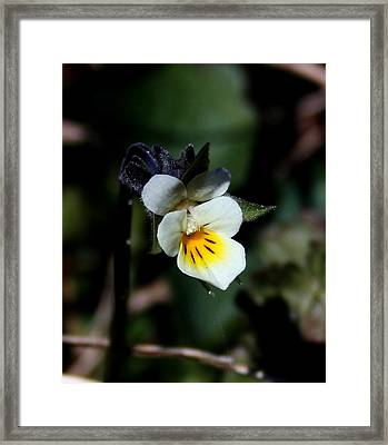 Miniature Pansy2 Framed Print