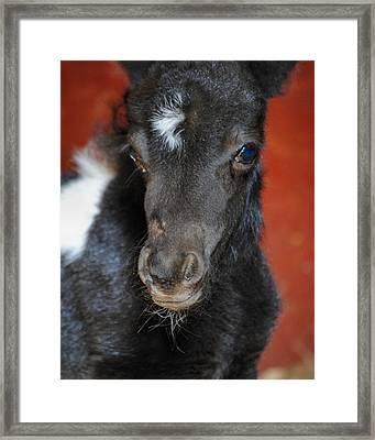 Miniature Pony Portrait Framed Print