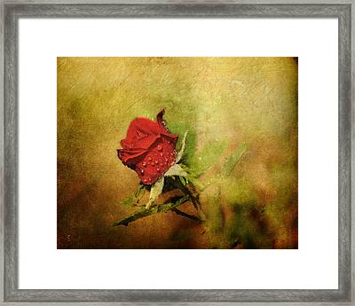 Miniature Red Rose II Framed Print by Jai Johnson