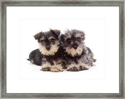 Miniature Schnauzers Framed Print by Jane Burton