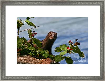 Framed Print featuring the photograph Mink In Blackberries. by Mitch Shindelbower