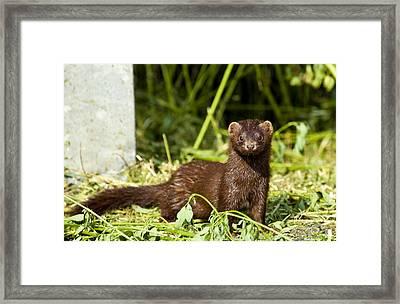 Mink Framed Print