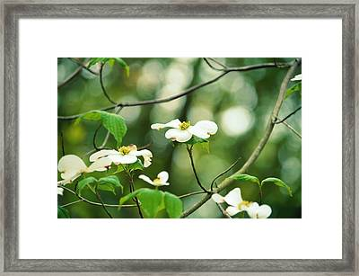 Miracle Of The Dogwood Framed Print