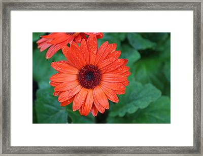 Miss Daisy Framed Print