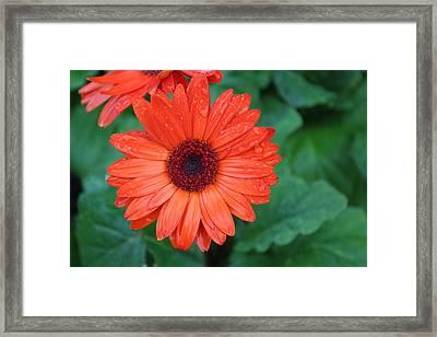 Miss Daisy Framed Print by Bob Whitt