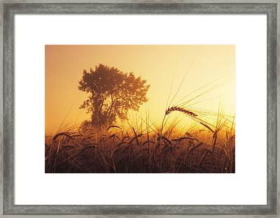Mist In A Barley Field At Sunset Framed Print by Dave Reede