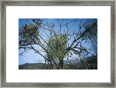 Mistletoe On A Tree Framed Print by Archie Young