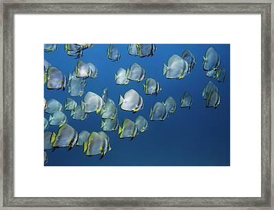 Mixed School Of Spadefish Framed Print by Georgette Douwma