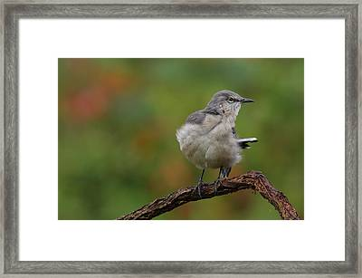 Framed Print featuring the photograph Mocking Bird Perched In The Wind by Daniel Reed