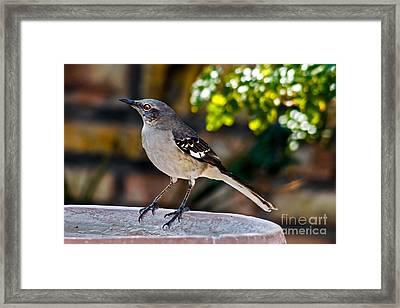 Mocking Bird Framed Print by Robert Bales