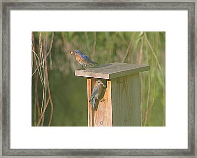 Mom And Dad Bluebird Bringing Home Lunch Framed Print