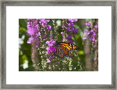 Monarch 2 Framed Print by Michel DesRoches