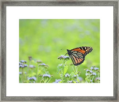 Monarch And Mist Framed Print