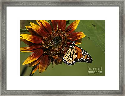 Monarch And The Bee Framed Print