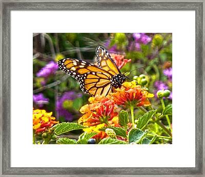 Monarch At Lantana Framed Print