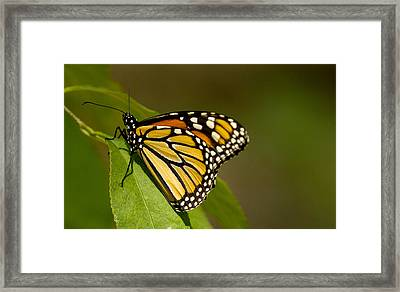 Monarch Beauty Framed Print by Dean Bennett