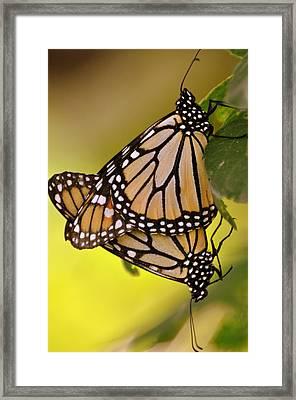Monarch Bliss Framed Print by Marty Koch