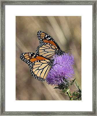 Framed Print featuring the photograph Monarch Butterflies On Field Thistle Din162 by Gerry Gantt