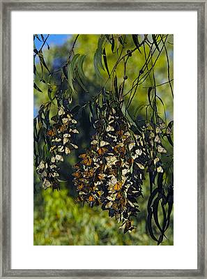 Monarch Butterflies Overwintering In Tree Framed Print by Bob Gibbons