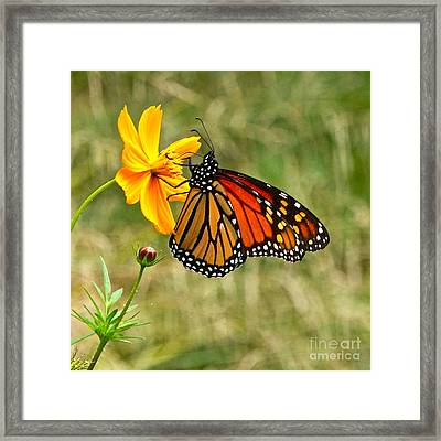 Monarch Butterfly And Yellow Cosmos Framed Print by Byron Varvarigos